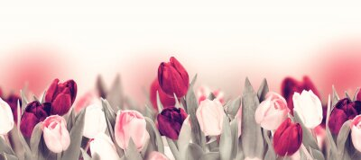 Bild Tulip colorful flower panoramic border on white