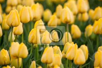 Tulpe Schone Bunte Gelbe Tulpen Blumen Im Fruhjahr Garten