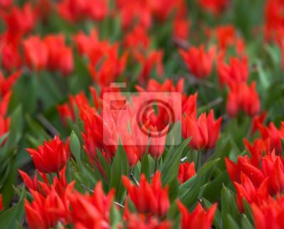 Tulpe Schone Bunte Rote Tulpen Blumen Im Fruhjahr Garten Lebendige