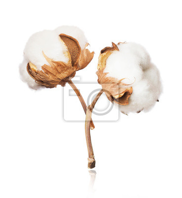Bild Two cotton plant flowers close-up isolated on white background
