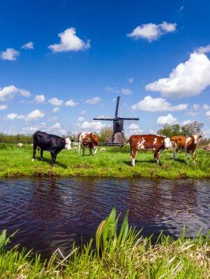 Bild Typische niederländische Landschaft mit Kühe auf der Wiese und eine Windmühle in der Nähe des Wassers