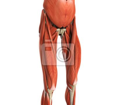 Upper legs muscles anatomy leinwandbilder • bilder medicals ...