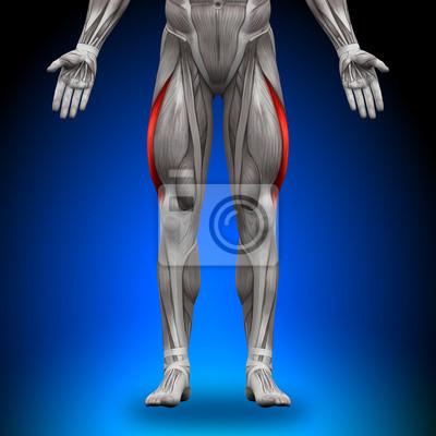 Vastus lateralis - anatomie muskeln leinwandbilder • bilder deltoid ...