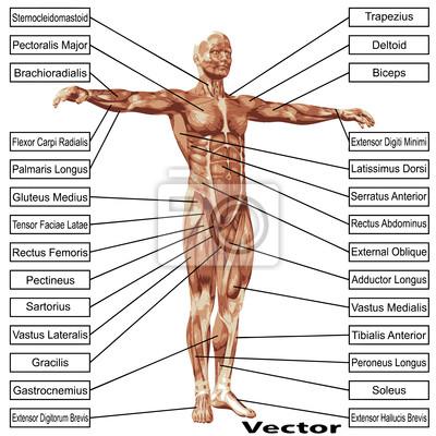 Vector 3d mann menschlich muskeln anatomie leinwandbilder • bilder ...