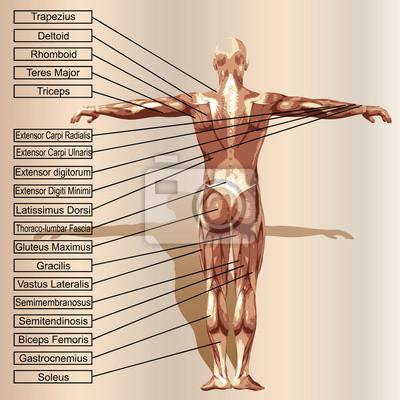 Vector 3d menschliche männliche anatomie mit muskeln und text ...