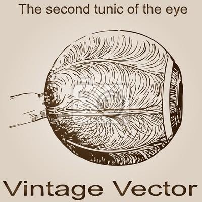 Vector vintage anatomie skizze, zeichnung leinwandbilder • bilder ...