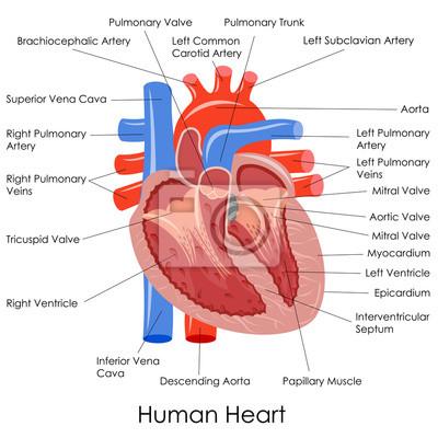 Vektor-illustration von diagramm des menschlichen herzens anatomie ...