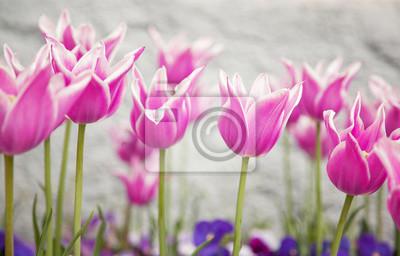 Verschwommenes rosa farbigen Tulip Blumen auf hellem Hintergrund. Geringe Tiefenschärfe verwendet.