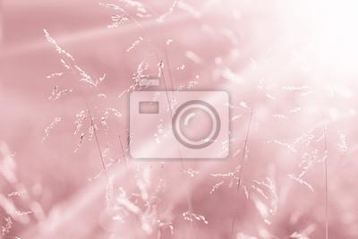 Verträumte sonnige rosa rote Farbe Wiese Gras am Sonnenuntergang mit Sonnenstrahlen. Rosa rote Farbe Landschaft Wiese Großansicht. Geringe Tiefenschärfe verwendet.