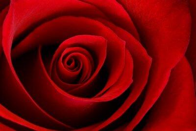 Bild Vibrant Red Rose Close Up Macro - Zusammenfassung