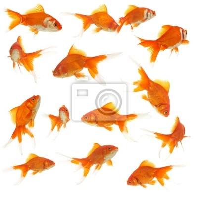 Bild viele Goldfische