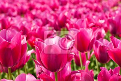 Viele rosa Tulpen