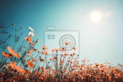 Bild Vintage Landschaft Natur Hintergrund der schönen Kosmos Blume Feld am Himmel mit Sonnenlicht im Frühjahr. Weinlese-Farbton-Filtereffekt