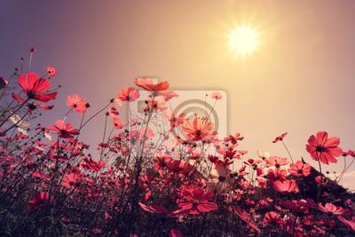 Bild Vintage Landschaft Natur Hintergrund der schönen Kosmos Blume Feld am Himmel mit Sonnenlicht. Retro-Farbton Filter-Effekt