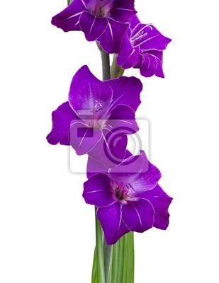 Violette Gladiole