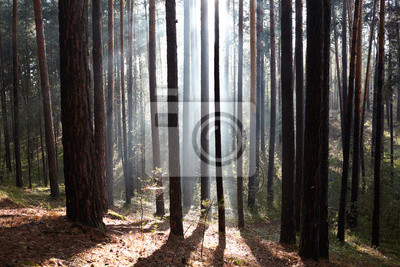 Wald im Nebel die Sonnenstrahlen
