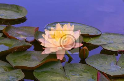 Wasser Blume Lotus Lilie Teich Rosa Waterlily Natur Seerose