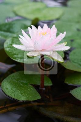 Wasser rosa Blume