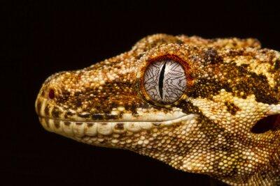 Bild Wasserspeier Gecko (Rhacodactylus auriculatus) im Profil