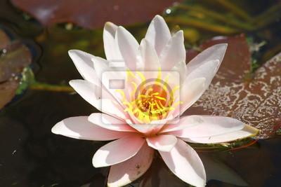 Bild Waterlily