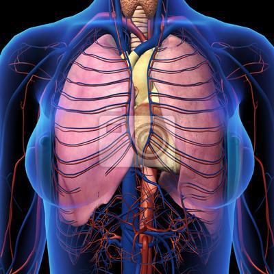 Weibliche brust x-ray mit lunge anatomie frontal view leinwandbilder ...