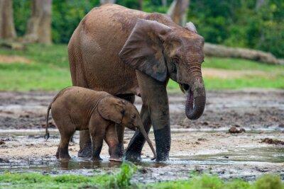 Bild Weibliche Elefanten mit einem Baby. Zentralafrikanische Republik. Republik Kongo. Dzanga-Sangha Spezialreservat. Eine ausgezeichnete Illustration.