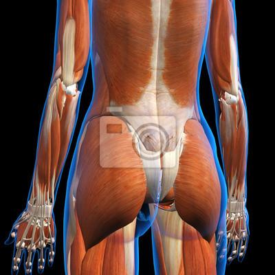 Weibliche gesäß muskeln röntgenaufnahme leinwandbilder • bilder ...