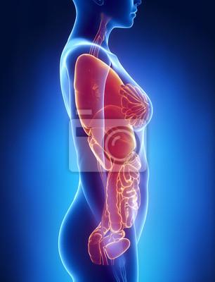 Weiblichen organe anatomie x-ray linken ansicht leinwandbilder ...