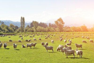 Bild Weide mit Tieren im Sommer sonnigen Tag in Neuseeland