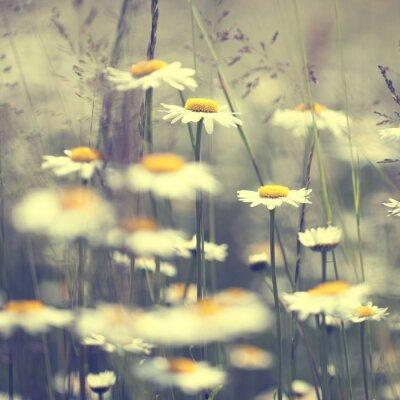 Weinlese-Gänseblümchen-Blumen