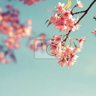 Bild Weinlese-Kirschblüte - Sakura-Blume. Natur Hintergrund (Retro-Filter-Effekt-Farbe)