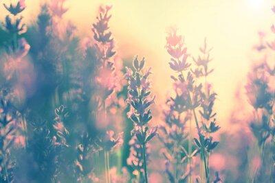Weinlese-Lavendel Sonnenuntergang