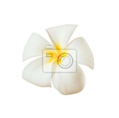 Bild Weiße Frangipani-Blüte