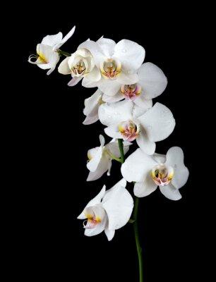 Bild Weiße Orchidee auf einem schwarzen Hintergrund