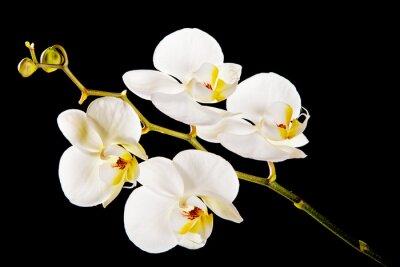 Bild Weiße Orchidee mit gelber Mitte