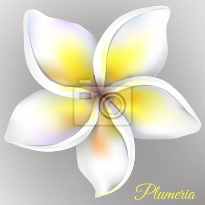 Bild Weiße Plumeriablume auf grauem Hintergrund. Vektor-Illustration.