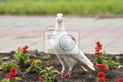 Bild weiße Taube auf dem Boden mit Blumen