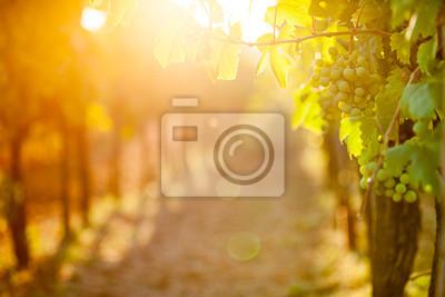 Bild Weiße Trauben (Pinot Blanc) in den Weinberg bei Sonnenaufgang.