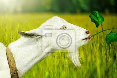 Weiße Ziege auf einem Bauernhof