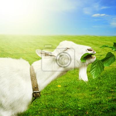 Weiße Ziege auf einer Wiese