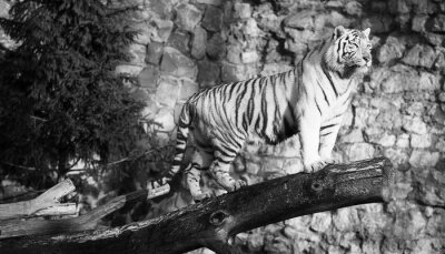 Bild Weißer Tiger, der auf einem Protokoll über einer Lücke (in Schwarzweiss, Weinleseart)