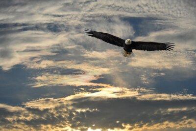 Bild Weißkopfseeadler fliegt über Alaska