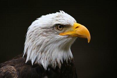 Bild Weißkopfseeadler-Profil