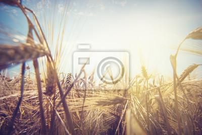 Weizen sun_1