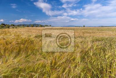 Weizen wächst in grünen Feld-Hof