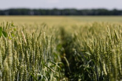 Bild Weizenfeld an einem Sommertag