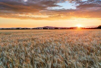 Bild Weizenfeld bei Sonnenuntergang