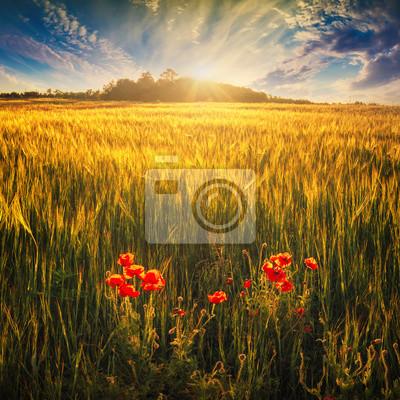 Weizenfeld mit roten Mohnblumen