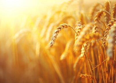Bild Weizenfeld. Ohren der goldenen Weizen Großansicht. Ländliche Landschaft unter strahlendem Sonnenlicht