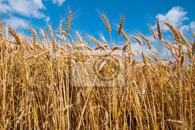 Bild Weizenfeld und blauer Himmel
